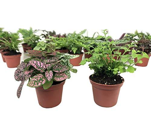 Mini Terrarium Plants (2 Plants) Fairy Garden Plants (Assorted Varieties) (2' Pots)