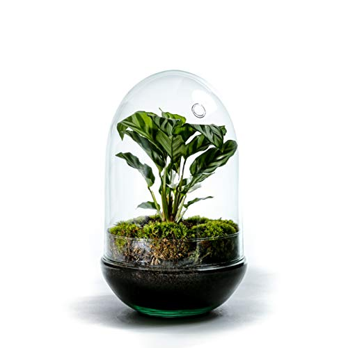 DIY Öko Flaschengarten von Botanicly: Egg Groß – Calathea (Höhe: ca. 30 cm, Breite: ca. 17 cm)