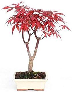 Bonsái Acer palmatum atropurpureum 7 años