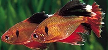 WorldwideTropicals Live Freshwater Aquarium Fish -  5  1.5  Red Veil Tail Serpae Tetra - 5 Pack of Red Serpae Tetras - by Live Tropical Fish - Great For Aquariums - Populate Your Fish Tank!