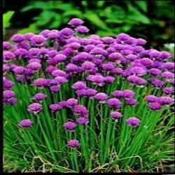 Il vous suffit de graines fines herbes???ciboulette???Allium Schoenoprasum???biologiques de???Flux des paquets Suffolk herbes???250?graines