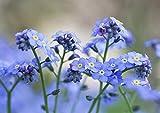 Chinois Forget Me Not Seeds – (Blue Cynoglossum amabile) - Graines de fleurs bleues non OGM pour la plantation dans le jardin, la maison, le balcon, la cour, la décoration de fleurs