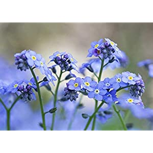 Chinese Forget Me Not Seeds -(Blue Cynoglossum amabile) Non-GMO Blue Flower Seeds for Planting in The Garden Home Balcony Yard Decoration Flowers Plants-50Seeds