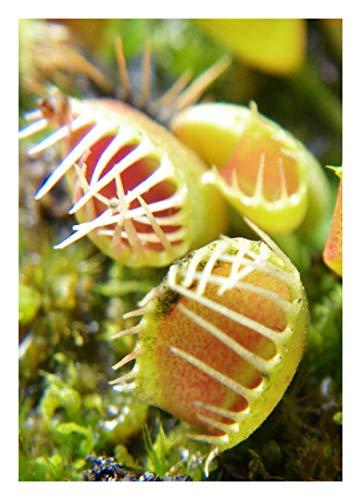 "Venus-Fliegenfalle"" Funnel Trap"" - Trichterfalle / 10 Samen/inkl.Karnivorenerde (Dionaea muscipula)"
