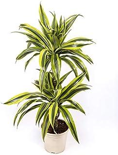 Dracaena Lemon Lime - 2 troncos - Altura total aprox. 80cm. - Planta viva - (envíos sólo a península)