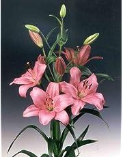 Ramo Flores Frescas de Lilium Rosa 10 Tallos PORTES GRATIS