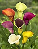 ASTONISH SEEDS: 5 bulbos Mixed cala -Prte jardinería