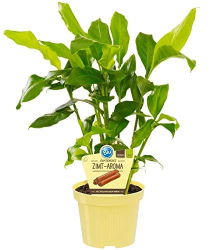 Bio Zimt-Aroma, (Elettaria cardamomum), Duftpflanze, Kräuter Pflanzen aus nachhaltigem Anbau