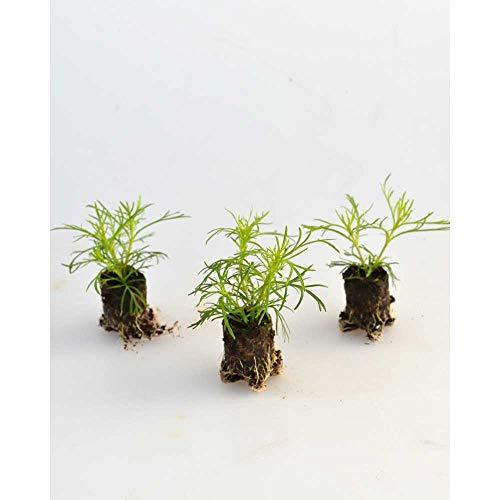 Kräuterpflanzen - Lakritz-Tagetes/Salmi - Tagetes filifolia - 3 Pflanzen im Wurzelballen