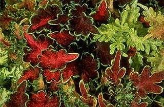 Coleus Carefree Mix Annual Seeds
