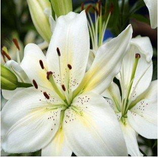 graines de lys, parfum graines de nénuphar pas cher, le mélange de différentes variétés de fleurs Seeds- 100 pcs