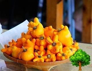 50 Seed Solanum MAMMOSUM Cow Udder Nipple Titty Fruit NIPPELFRUIT