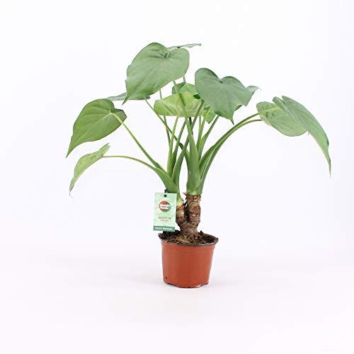 Plantes d'intérieur de Botanicly – 2 × Oreille d'Éléphant – Hauteur: 40 cm – Alocasia Cucullata