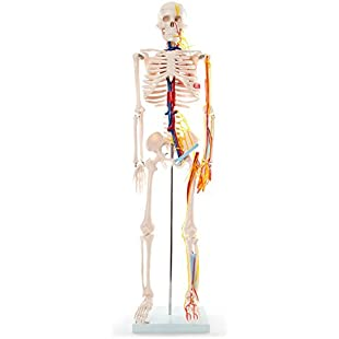 66fit Skeleton With Nerves and Blood Vessels - 85cm - Medical Educational Training Aid