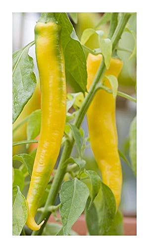 Chili Golden Cayenne - piment - 50 graines