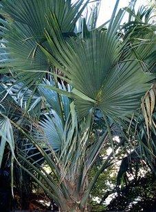 Sabal-Palme - Sabal minor var. Louisiana - Samen