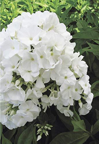 Volcano Phlox - Phlox Volcano White (Garden Phlox) Perennial, white flowers, 1 - Size Container
