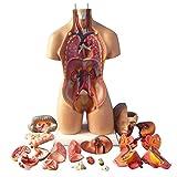 Anatomie Modèle Corps Humain, Modèle anatomique de regroupement des organes humains pour l'école 4D Anatomical Assembly Model of Human Organs