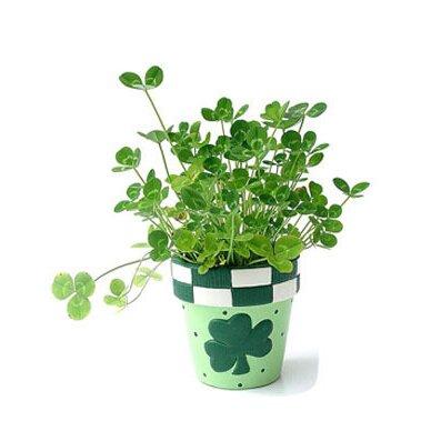 graines de trèfle, de petites fleurs à l'intérieur quatre feuilles de graines de trèfle, plantes bonsaï de trèfle chanceux 100 graines / sac