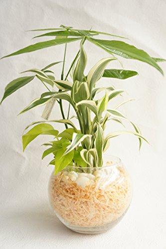 【純国産ひのきを使用した観葉植物。ひのきの香りに癒されます。】 ハイドロカルチャー 観葉植物 寄せ植え3種 バブルボール15 ひのき