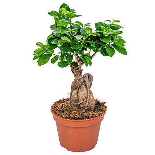 Bonsai Baum | Ficus 'Ginseng' pro Stück - Zimmerpflanze im Aufzuchttopf cm15 cm - ↕35 cm