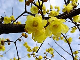 WANCHEN 20pcs Wintersweet Chimonanthus Fragrans praecox Deciduous Shrub Bonsai Tree Home Garden DIY Plant Hardy Plants (Seeds not Plants)