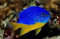【海水魚/観賞魚/スズメダイ】 ロイヤルダムセル[ロイヤルデムワーゼル] ■サイズ:3cm± (2匹)