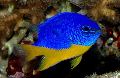 【海水魚/観賞魚/スズメダイ】 ロイヤルダムセル[ロイヤルデムワーゼル] ■サイズ:3cm± (3匹)