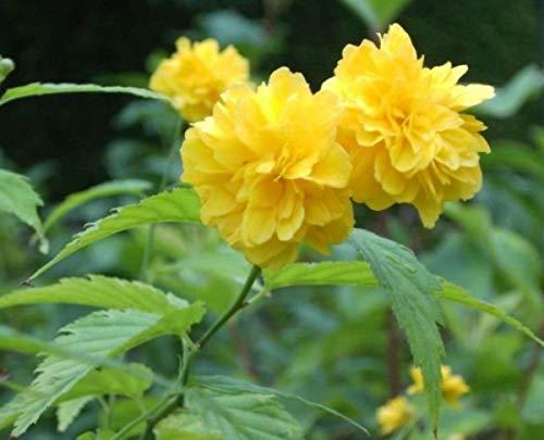Ranunkelstrauch Pleniflora - Goldröschen - Kerria japonica Pleniflora (60-100)