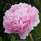 3 X Peonia Sarah Bernhardt - Paeonia Sarah Bernhardt - Classica Peonia Rosa - Radici Nude (3)