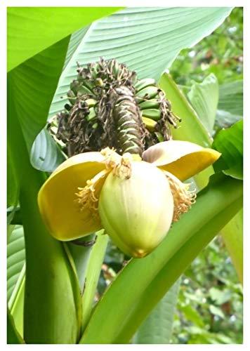 TROPICA - Japanische Faserbanane (Musa basjoo) - 10 Samen