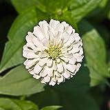 Yumhouse Semillas de Flores para Jardin,Baiyu Poskia seeds-4000 Capsules_White,Semillas de Flores Exterior trepadoras