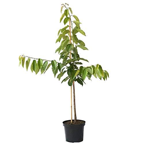 Müllers Grüner Garten Shop Burlat frühe Süßkirsche kleinbleibend Kirschbaum Buschbaum 120-150 cm 9,5 Liter Topf auf GiSelA 5