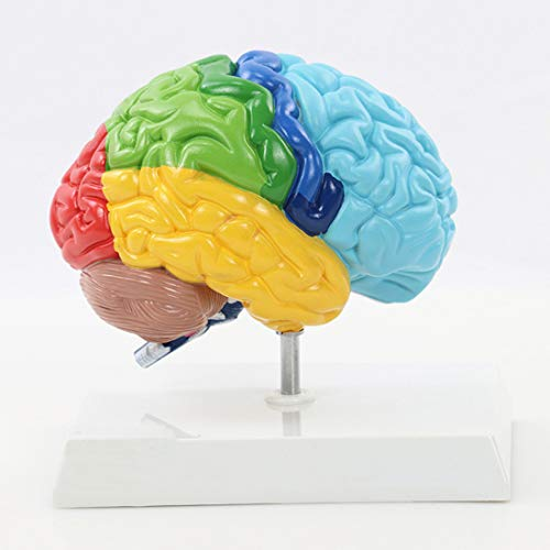 HUIGE Anatomiemodell des Menschlichen Gehirns, 1:1 Lebensgroßes Modell Der Rechten Gehirnhälfte Farbige Funktionen Regionales Gehirnhälftenmodell Für Arztpraxen