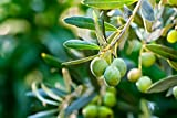 'Arbequina' Olive T.Ree – 4 to 6 Inches – Can Grow in Pot
