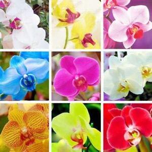 10 graines/Pack, graines Phalaenopsis, graines d'orchidées de couleurs mélangées, les plantes de maison terrasse cour avancée fleur