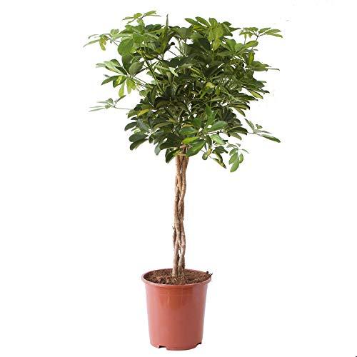 Plante d'intérieur de Botanicly – Arbre à doigts – Hauteur: 100 cm – Schefflera arb. Gold Capella