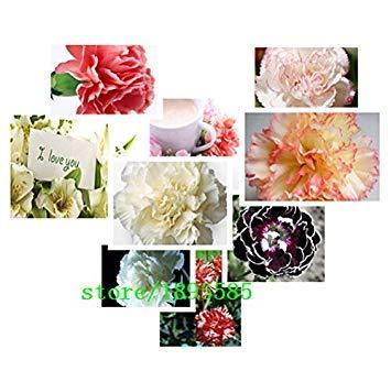 1 Paquet professionnel Environ 100 graines / semences Paquet frais de Rare multi-espèces Carnation Fleur Dianthus chinensis