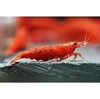 レッドファイヤーシュリンプ(極火蝦)繁殖飼育完全セット(10匹、水草、繁殖促進液、繁殖マニュアル付)