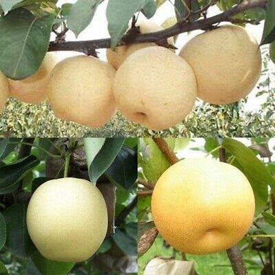 5 Pcs chinois poire Graines de sable blanc poire juteuse charnues fruits doux et délicieux vert sain nourriture savoureuse Bonne jardin des plantes 2