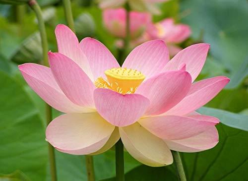 ハス(Sacred Lotus、ピンク)の種(10粒)