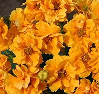 Geum (Avens) chil. flora plena Sunrise 1,000 seeds