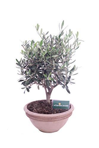 Bonsai di Olivo Bonsai di Ulivo pianta di bonsai Olea Europaea bonsai di ulivo bomboniera bonsai pianta da interno pianta di bonsai vera venduta da eGarden.store (Ulivo Ciotola vaso 24)