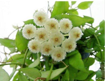 100pcs / sac Vente Hot arc Hoya Rare Graines Outdoor Blooming Bonsai fleurs des plantes en pot pour Maison et jardin Livraison gratuite 20
