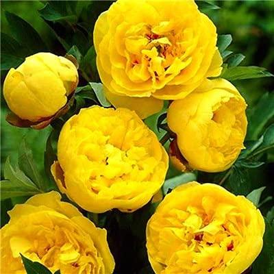 Kucus 30 pcs Chinese Peony Tree Bonsai Plant for Balcony Garden Flowers, Exotic Paeonia suffruticosa Wedding Decoration - (Color: 2)