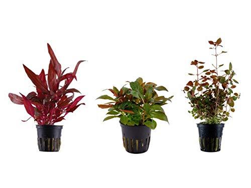 Tropica -   Pflanzen Set mit 3