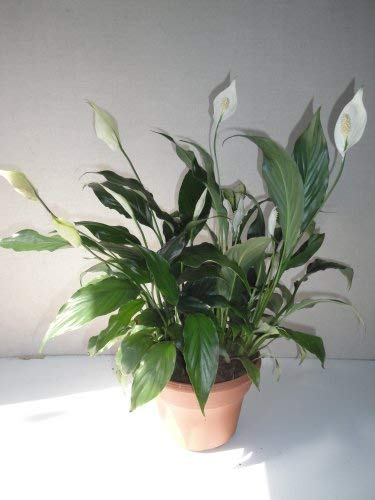 Best air-purifying plants -Peace Lily