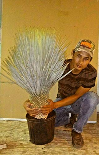 1 Very Exotic Yucca Rostrata Cactus 25-30 Inch Live Plant
