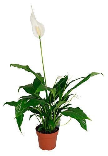 Spathiphyllum wallisii, Zimmerpflanze im 17 cm Topf, Einblatt, ca. 65 cm hoch