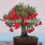 Venta caliente! 50pcs / bag Pyracantha fortuneana Semillas, semillas de bonsái firethorn, Hermoso de plantas, semillas de árboles en maceta de plantas - Arcis Nuevos